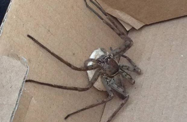 Surprise Discovery of Giant Spider in London Eco Worker's Bag