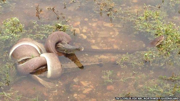 Snake VS Crocodile in Australia March 2014