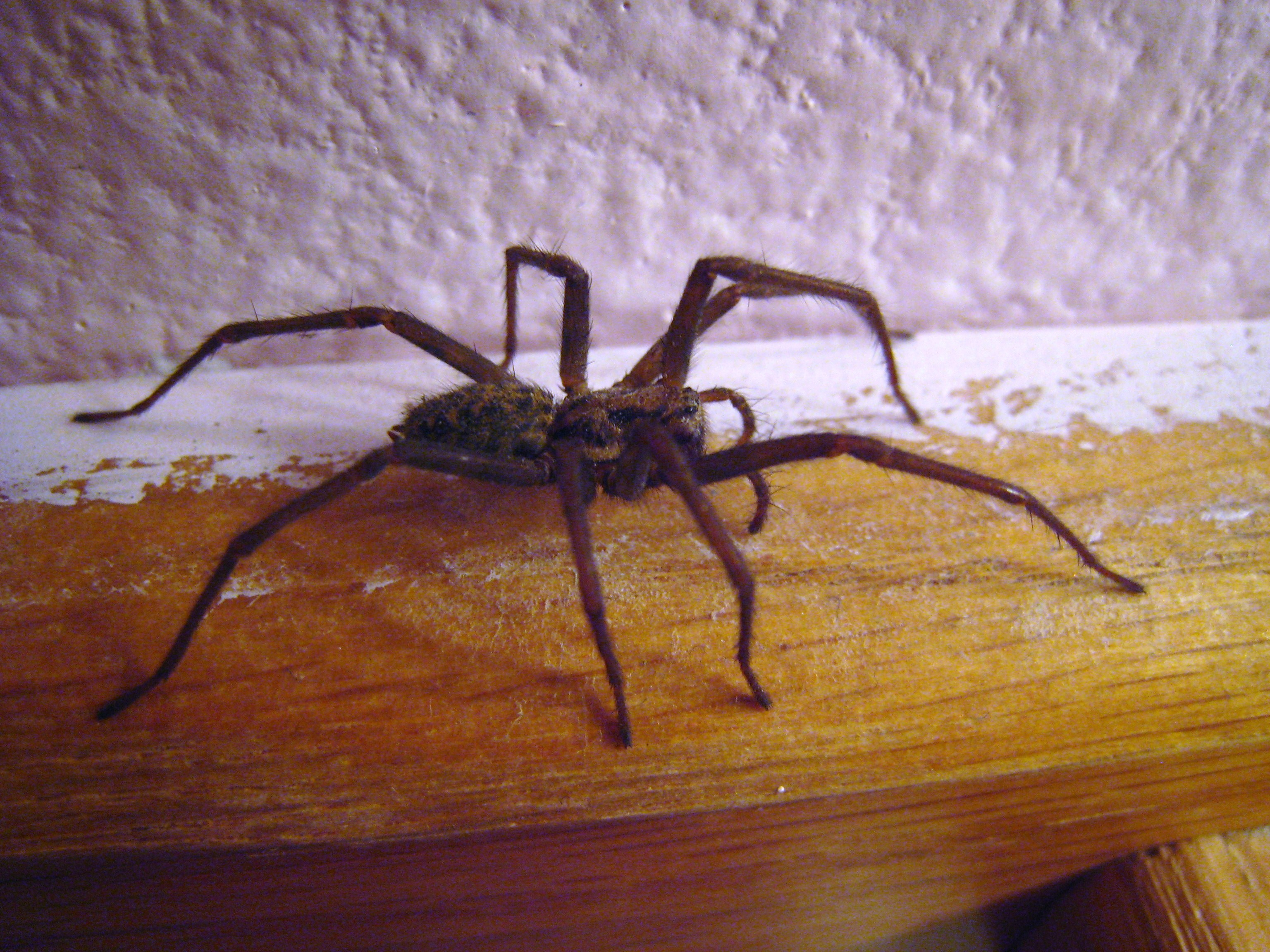 House spiders taking the piss now latest on the for How to stop spiders coming in your house