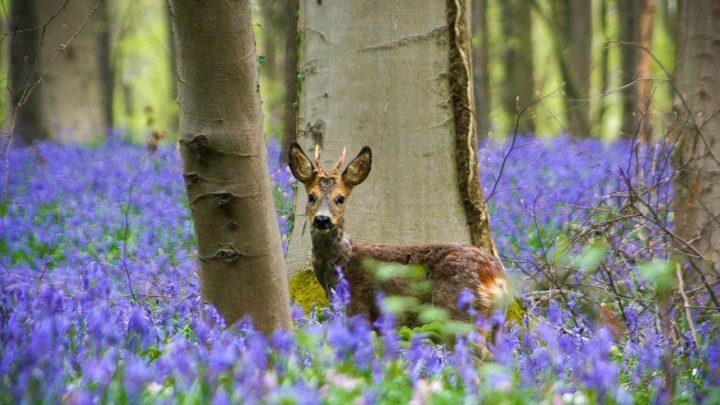 Hallerbos- Belgium's Blue Forest