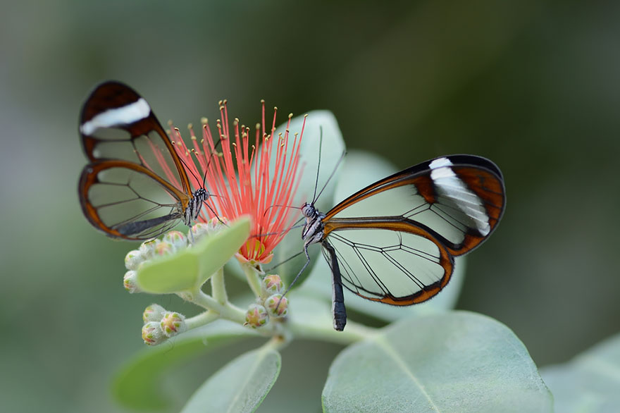 Glass Winged Butterfly1