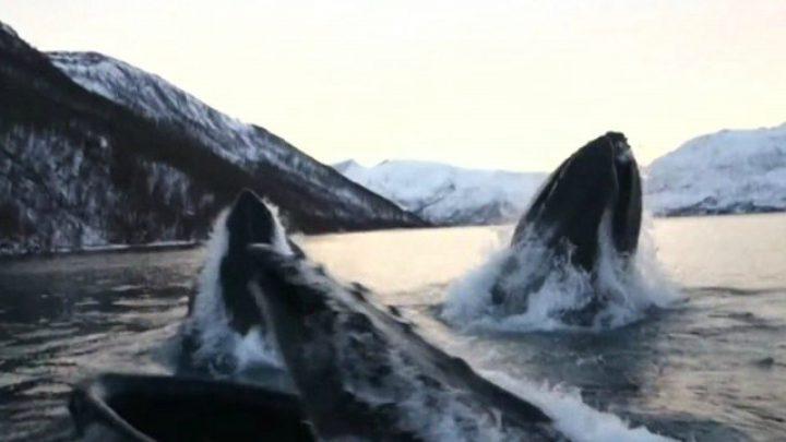 Humpback whales shock fishermen in Norway
