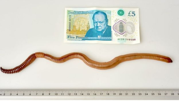 Dave, the worm, has wormed into the world records