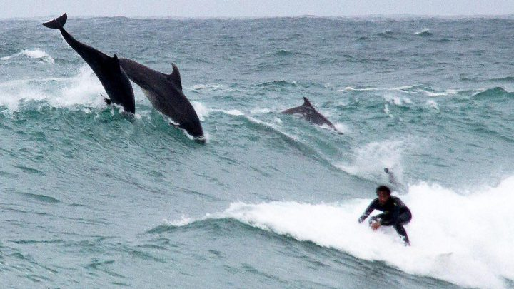 Dolphins join surfers in Cornwall and start riding waves with them