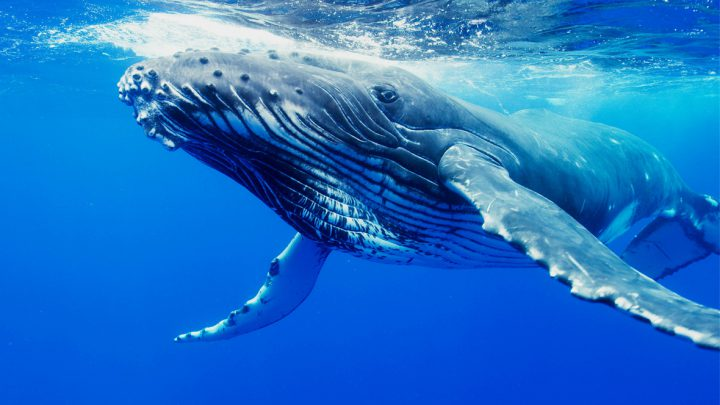 Devon Coast Visited by rare Humpback Whale