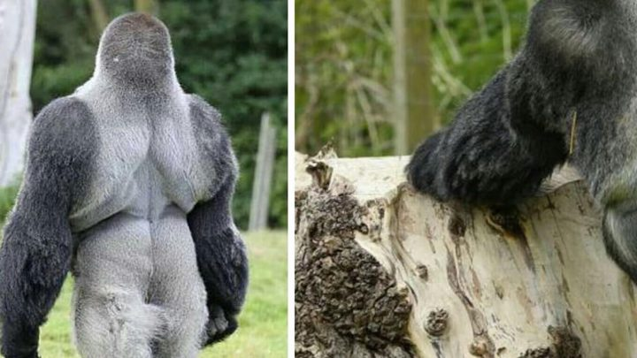 Everyone All Over The Planet Are Loving This Gorilla. Just Wait Till He Turns Around And You Will Know Why