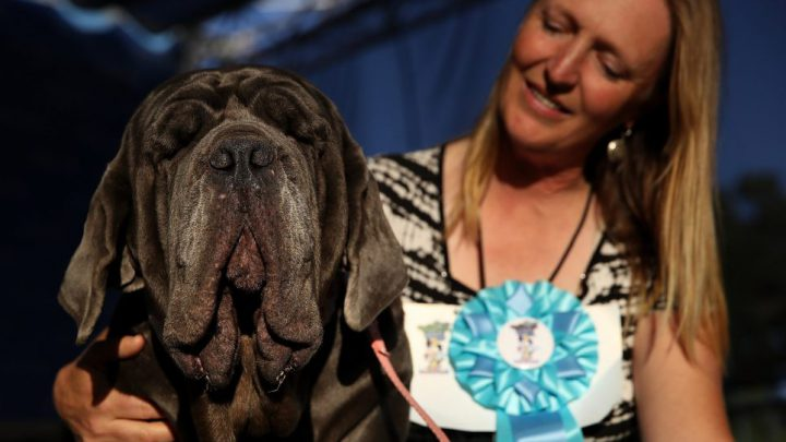 Martha The Mastiff Wins The Ugliest Dogs In The World Competition