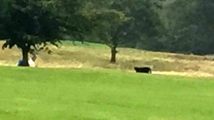 Huge Black Panther Spotted Heading Towards Couple At Golf Course In Huddersfield