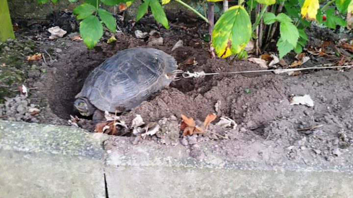 Owners Drill Hole In Turtles Shell & Chains It To Tree So They Could Go On Holiday