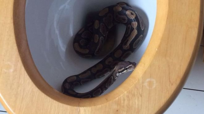 Family From Essex In Shock After Their Five Year Old Boy Finds A Three Foot Python Inside Toilet