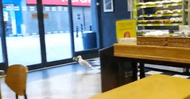 Seagull Filmed Casually Waddling Into Greggs And Stealing A Packet Of Salt And Vinegar Crisps