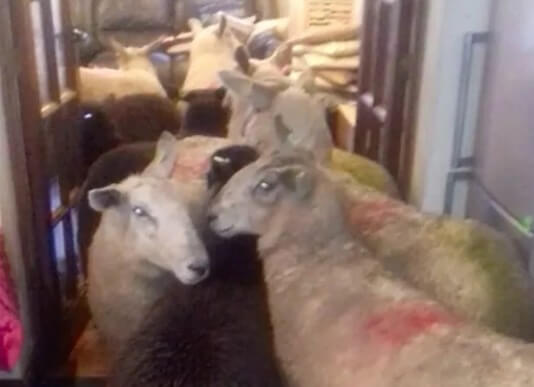 Have You Seen The Video Of A Sheepdog Puppy Herding Entire Flock Into Owners Kitchen?