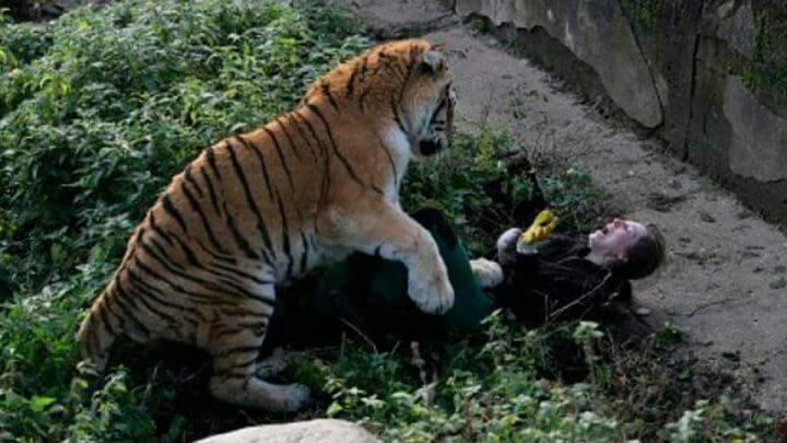 Zookeeper Mauled By Siberian Tiger As She Tries To Feed It In Horrifying Attack